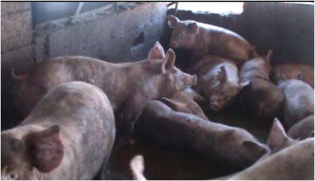 החזיריה, תמונת אילוסטרציה